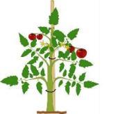 tomato-plant